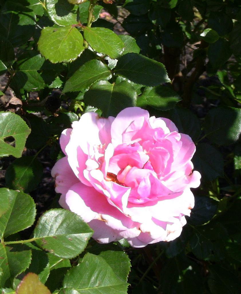Rose IMG_2143