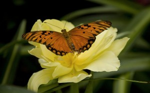 photo of an orange butterfly on a yellow flower