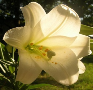 photo close-up of an Easter lilly